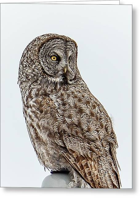 Great Grey Greeting Card by Yeates Photography