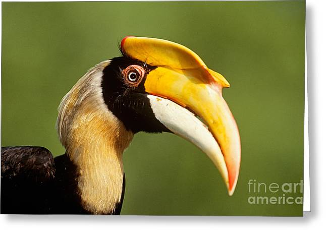 Great Hornbill Greeting Card