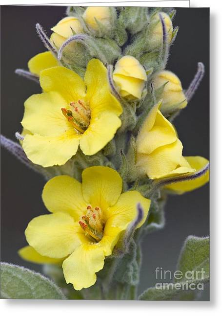 Great Mullein Verbascum Thapsus Greeting Card by Adrian Bicker
