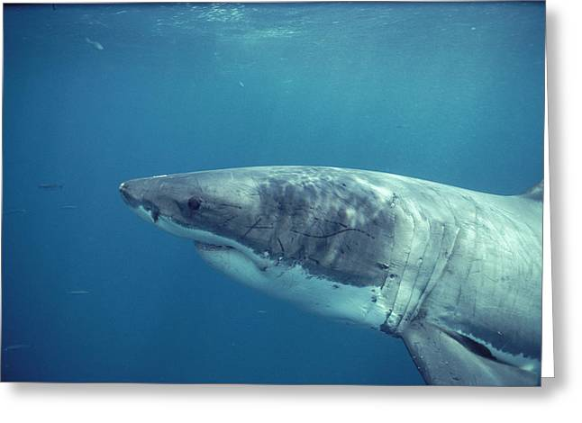Great White Shark Greeting Card by Jeff Rotman