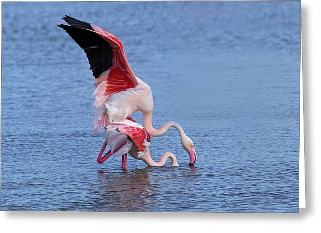 Greater Flamingo, Parc Ornithologique Greeting Card