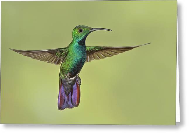 Green-breasted Mango Costa Rica Greeting Card by Glenn Bartley