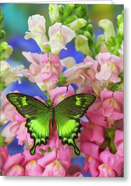 Green Swallowtail Butterfly Papilio Greeting Card