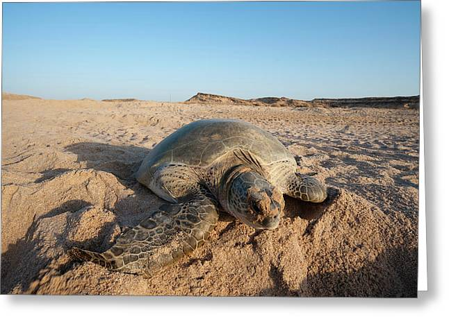 Green Turtle, Ras Al Jinz, Oman Greeting Card
