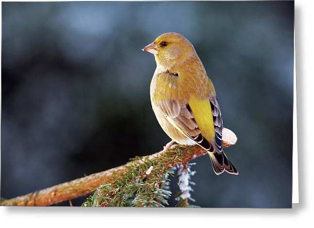 Greenfinch Greeting Card by Heiti Paves