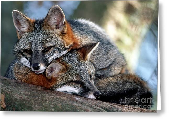 Grey Foxes Greeting Card by Millard H. Sharp