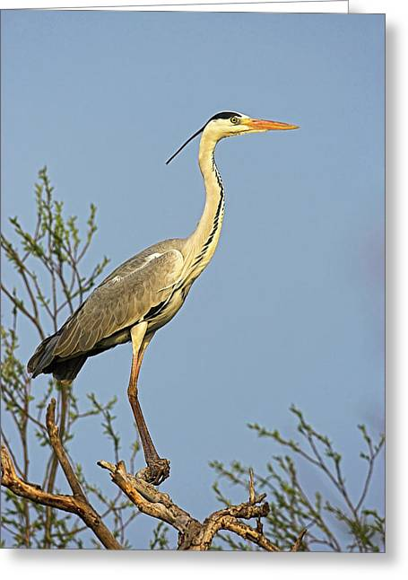 Grey Heron (ardea Cinera Greeting Card by Martin Zwick