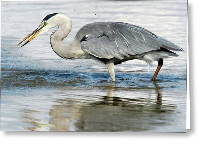 Grey Heron Catching A Fish Greeting Card