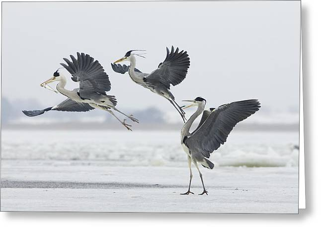 Grey Heron Trio Fighting Over Fish Greeting Card