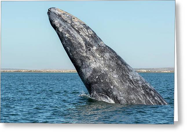 Grey Whale Breaching Greeting Card by Christopher Swann
