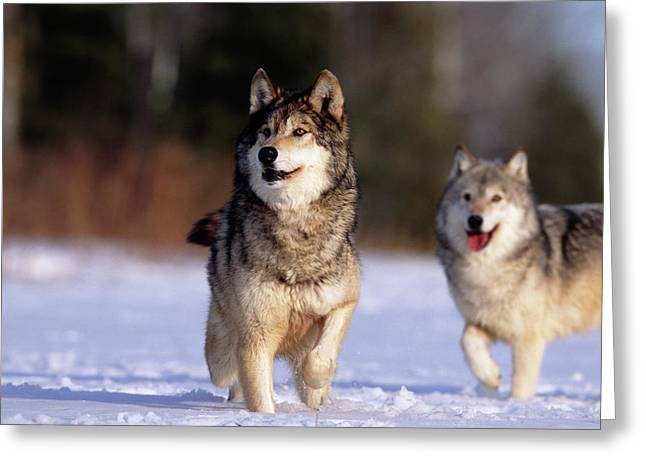 Grey Wolves In Snow Greeting Card