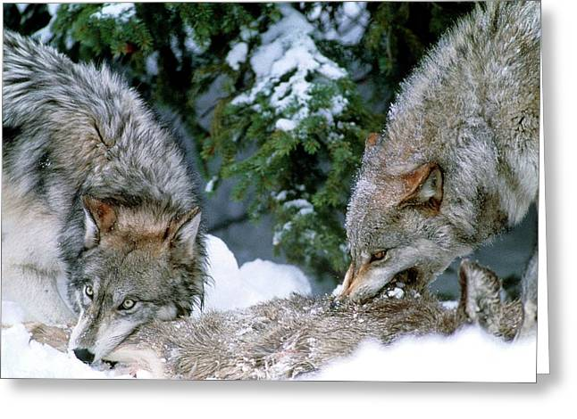 Grey Wolves With A Kill Greeting Card by William Ervin/science Photo Library