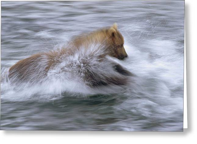 Grizzly Bear Chasing Fish Greeting Card by Matthias Breiter