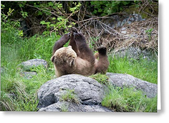 Grizzly Bear Greeting Card by Dr P. Marazzi/science Photo Library