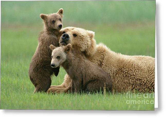 Grizzly Cubs Play With Mom Greeting Card