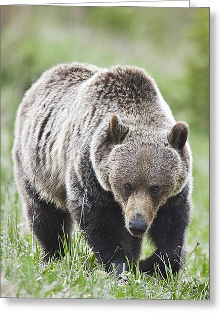 Grizzly Looking For Flowers To Eat Greeting Card