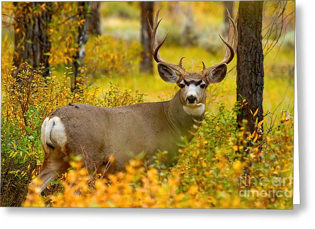 Greeting Card featuring the photograph Gros Ventre Buck by Aaron Whittemore