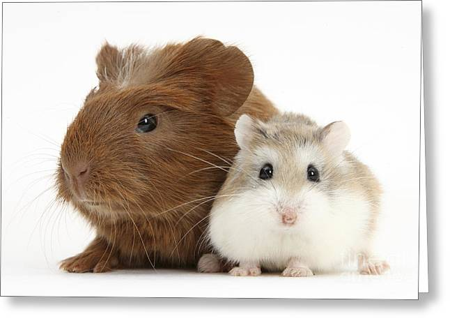 Guinea Pig And Hamster Greeting Card by Mark Taylor