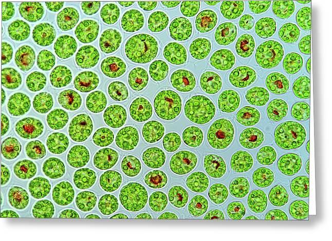 Haematococcus Algae Greeting Card by Marek Mis