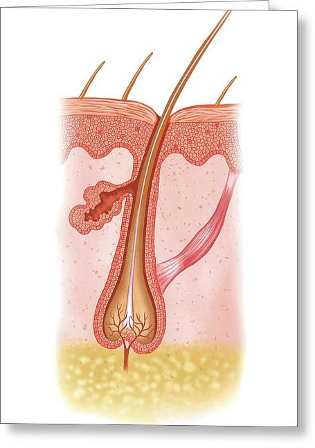 Hair In Anagen Phase Greeting Card by Asklepios Medical Atlas