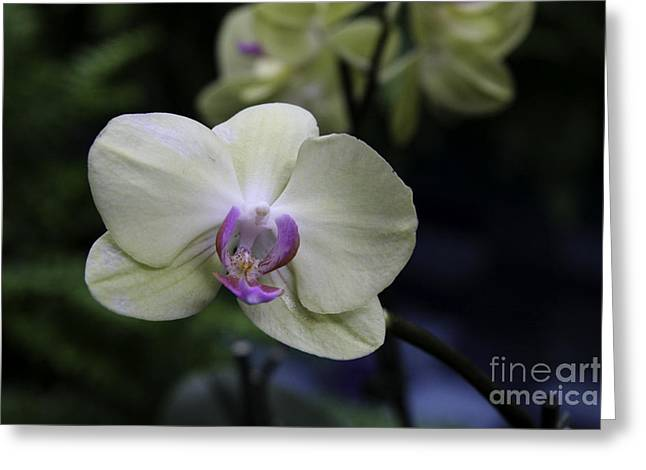Happiness Is An Orchid  Greeting Card by Martha Burger