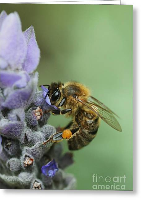 Greeting Card featuring the photograph Happy Bee by Joy Watson