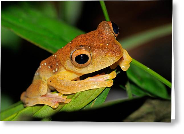 Harlequin Flying Frog, Malaysia Greeting Card