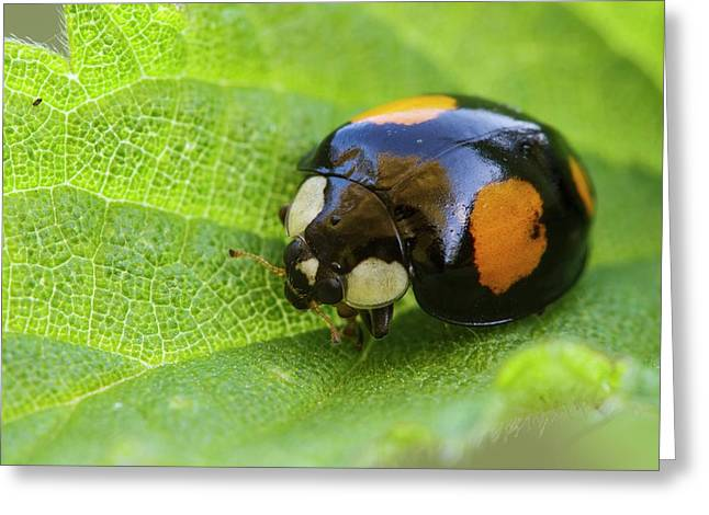 Harlequin Ladybird Greeting Card by Heath Mcdonald