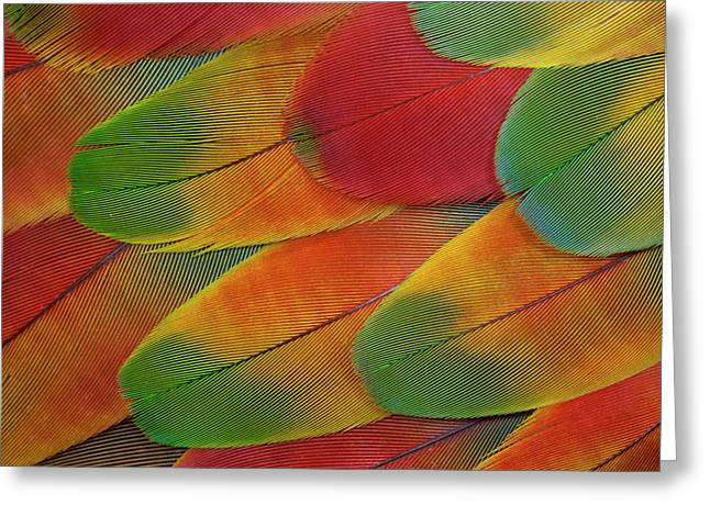 Harlequin Macaw Wing Feather Design Greeting Card