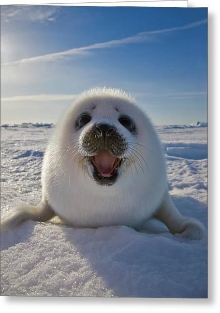 Harp Seal Pup On Ice, Iles De La Greeting Card