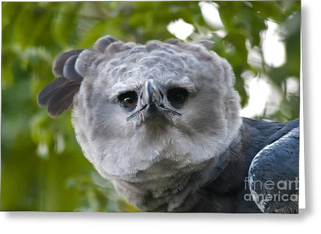 Harpy Eagle Greeting Card by Mark Newman