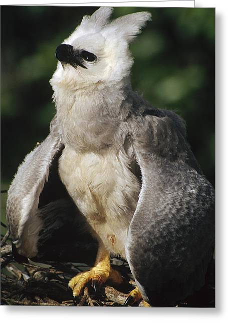 Harpy Eagle Threat Posture Amazonian Greeting Card