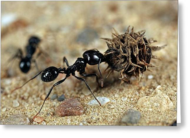 Harvester Ant Greeting Card by Frank Fox