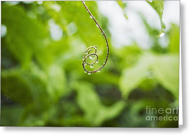 Hawaii, Oahu, Water Droplets On Curly Lilikoi Vine Tendril. Greeting Card by Charmian Vistaunet