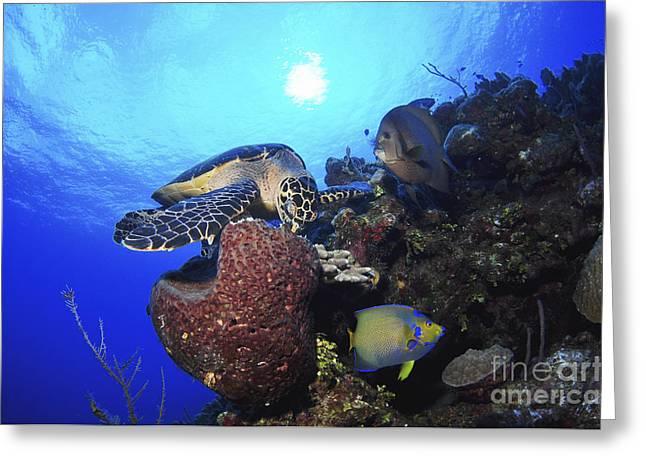 Hawksbill Sea Turtle Eating, Castle Greeting Card by Amanda Nicholls