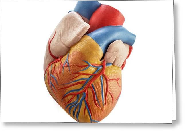 Heart Anatomy Model Greeting Card