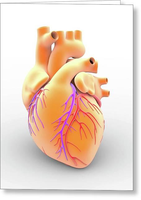 Heart And Coronary Arteries Greeting Card
