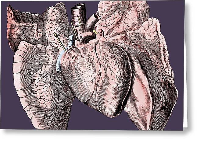 Heart And Lung Anatomy Greeting Card by Science Photo Library