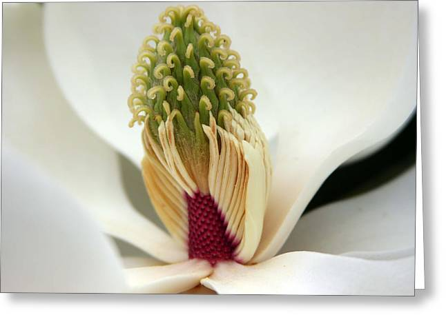 Heart Of The Magnolia Greeting Card by Andy Lawless