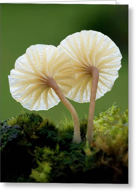 Heath Navel Fungus Greeting Card