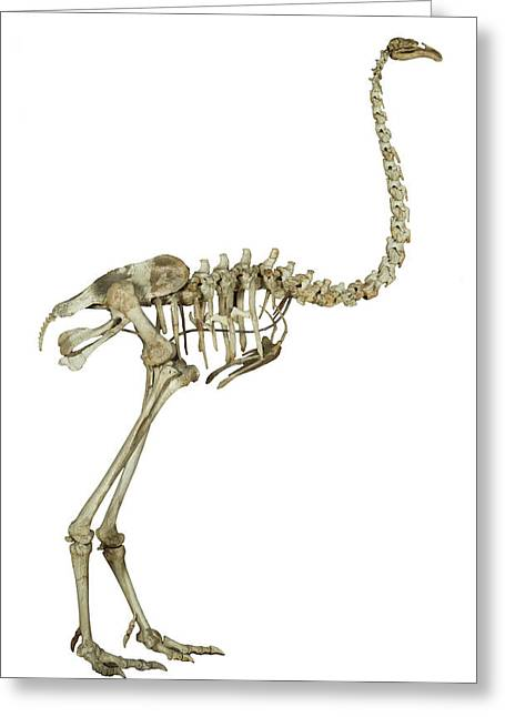 Heavy-footed Moa Greeting Card by Natural History Museum, London