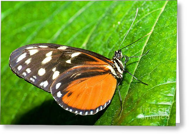 Hecale Longwing Butterfly Heliconius Greeting Card by Millard H. Sharp