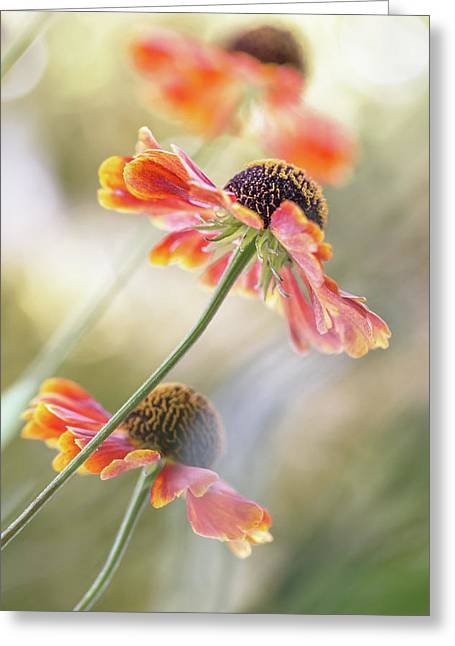 Helenium* Greeting Card by Mandy Disher