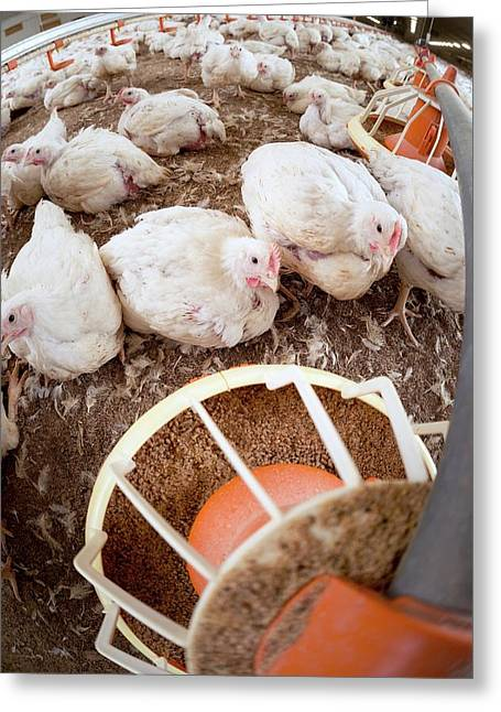 Hens Feeding From A Trough Greeting Card by Aberration Films Ltd