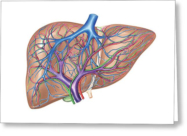 Hepatic Vessels And Ducts Greeting Card