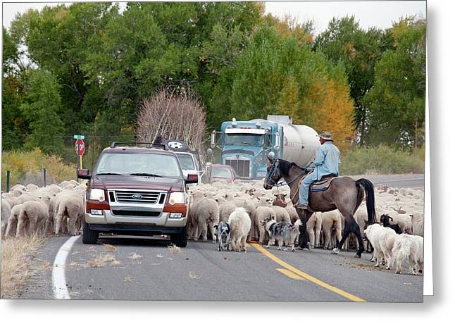 Herding Sheep Greeting Card