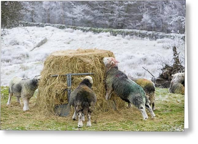 Herdwick Sheep Feeding On Hay Greeting Card by Ashley Cooper