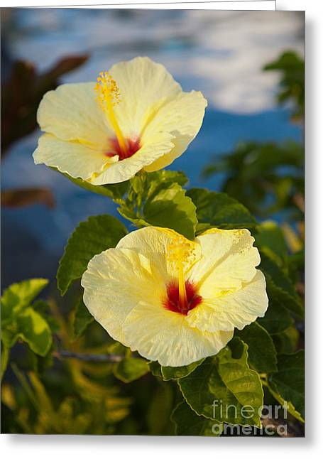 Greeting Card featuring the photograph Bright Yellow Hibiscus by Roselynne Broussard