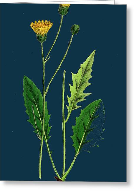 Hieracium Nitidum Scaly-stalked Hawkweed Greeting Card