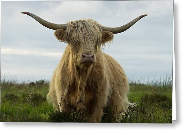 Highland Cow On Exmoor Greeting Card